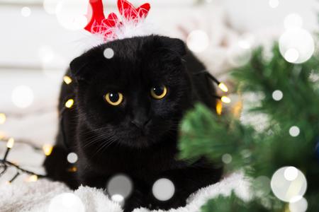 Black Scottish Fold cat wearing Christmas costume. Year of the dog concept