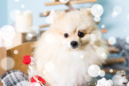 Pomeranian dog wearing Christmas costume hat in snowflakes