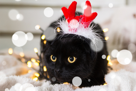 Black Scottish Fold wearing Christmas costume hat in snowflakes
