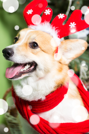 Welsh Corgi Dog wearing Christmas costume hat in snowflakes Foto de archivo