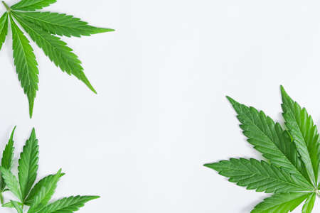 Space for text with beautiful green cannabis leaves isolated on white background 写真素材