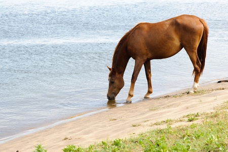 equitation: Horse drinking water in the river Stock Photo