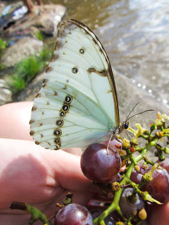 Butterfly eating grapes from a womans hand