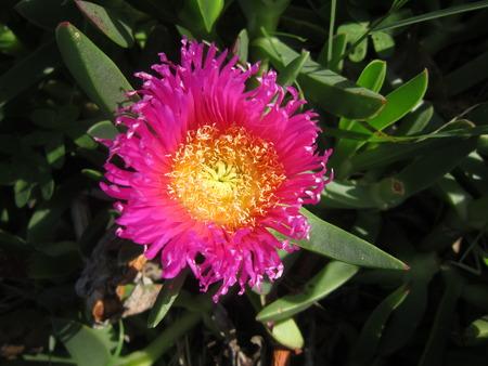 ice plant: Spanish, flowering ice plant