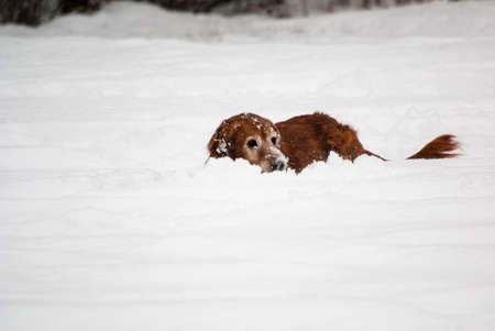 retreiver: A golden retreiver buries her face in the snow while she plays. Stock Photo