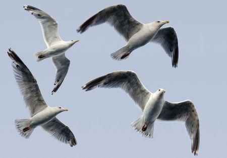 bullock animal: Seagulls - Isolated