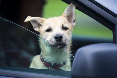 domestic car: Young Dog in Car Stock Photo