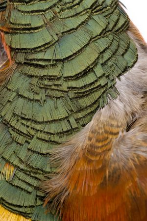 Bird - Rooster Feathers
