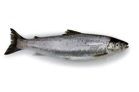 Fish - Trout - Isolated photo