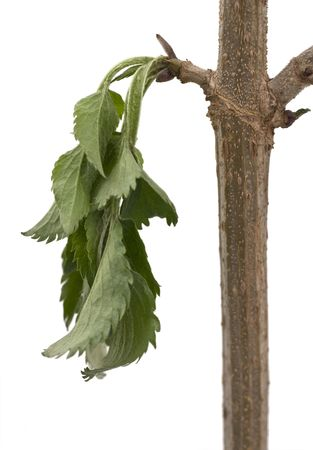 Tree - Branch with thirsty leaves Stock Photo
