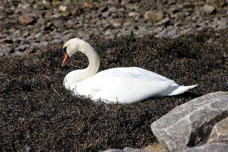 Bird - Swan