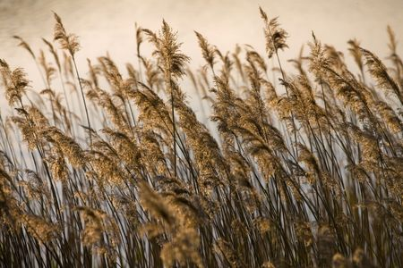 rushes: Landscape - Rushes