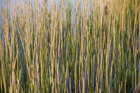 rushes: Landscape - Green Rushes