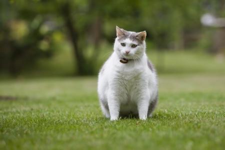 gato gris: Cat obesos Foto de archivo