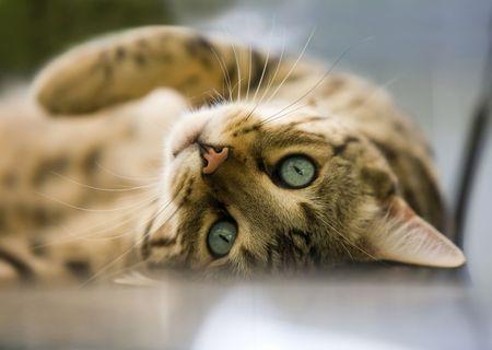 koty: Kot bengalski Zdjęcie Seryjne