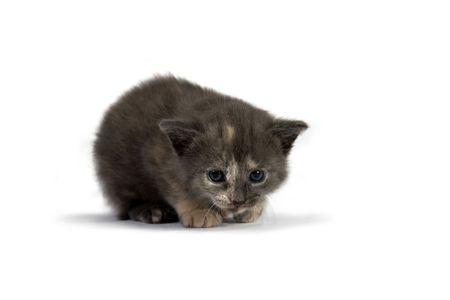 Grey Kitten Stock Photo - 5347587