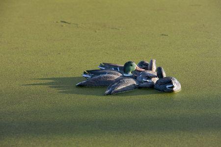 Plastic Decoy Ducks photo