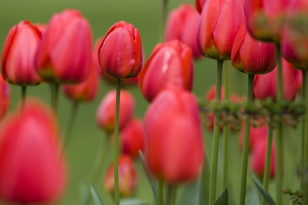 Flower - Red Tulips Stock Photo