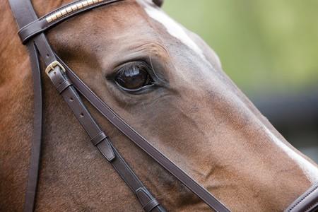 racehorse: Horse - Head Close-up Stock Photo