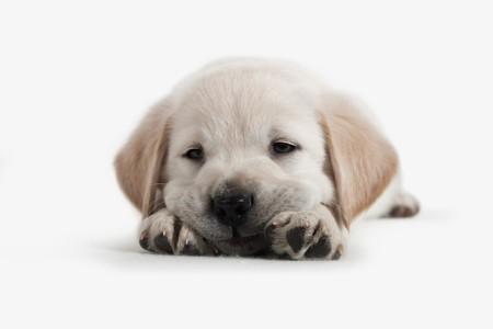 Dog - Golden Retriever Puppy Stock Photo - 7000096