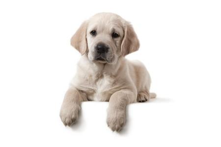 retriever: Dog - Golden Retriever Puppy