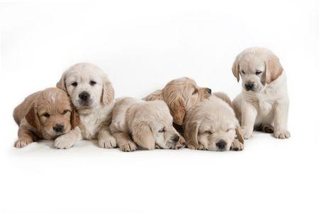Dog - Golden Retriever Puppies
