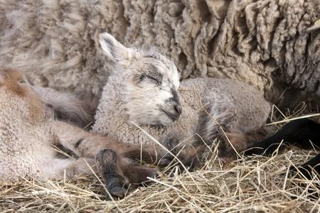 Lamb Easter Stock Photo