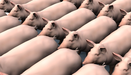 Pigs in rows