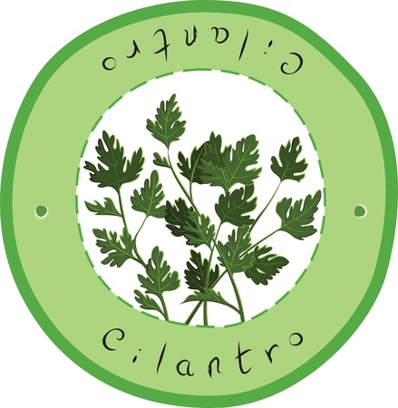 cilantro: Vector fresh Cilantro Herb. Cilantro. Vector illustration