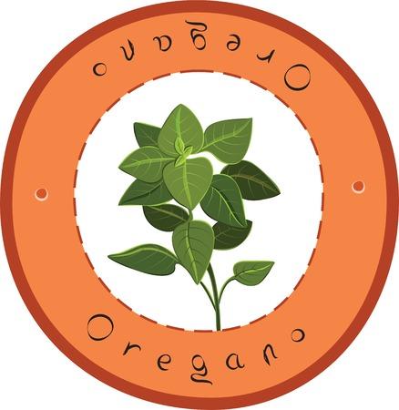 oregano plant: Fresh Italian Oregano. Fresh Oregano. Vector illustration