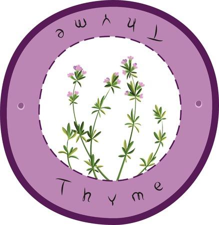 an inflorescence: Flowering fresh thyme.  Fresh Thyme. Vector illustration
