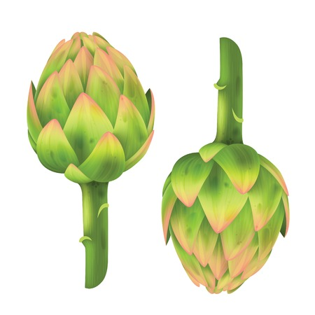 artichoke: Fresh Artichoke isolated on white. Artichoke. Vector illustration