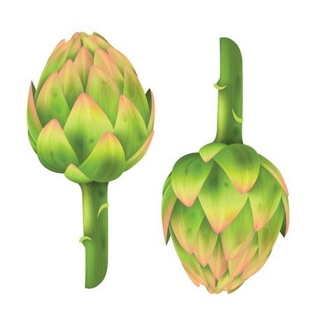 artichoke: Fresh Artichoke isolated on white. Artichoke. Vector illustration