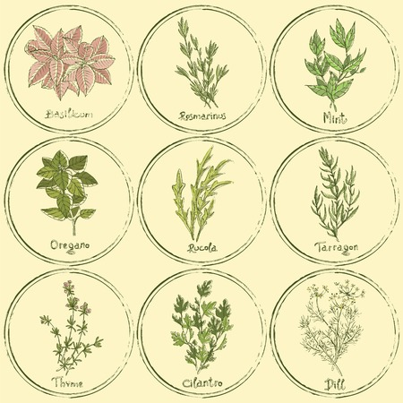 cilantro: Vector set of colored herbs. Stamp colored herbs set. Vector illustration