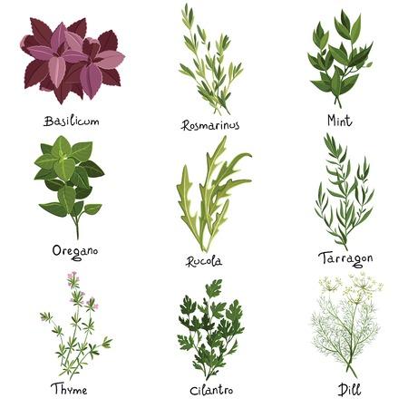 koriander: Meg kilenc vektor gyógynövények. Gyógynövények be. Vektoros illusztráció Illusztráció