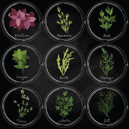 koriander: Vector színes gyógynövények a felszínen a pala keretek festett krétával. Sötét gyógynövények beállítani. Vektoros illusztráció