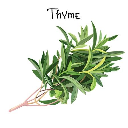 thymus: Flowering fresh thyme.  Fresh Thyme. Vector illustration
