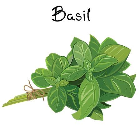 Vector green basil sprig. Basil Sprig. Vector illustration  イラスト・ベクター素材