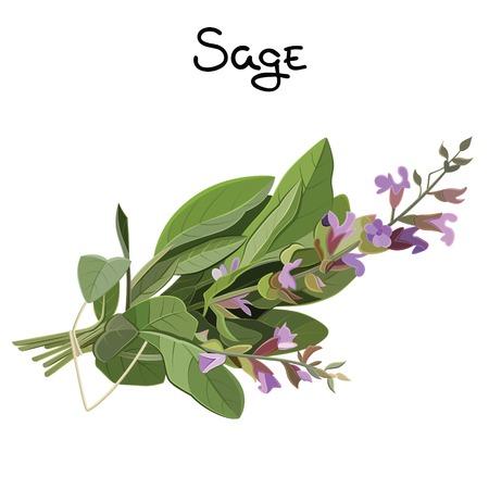 Flowering fresh sage. Sage herb. Vector illustration