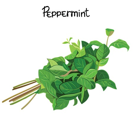 Green Mint sprigs. Peppermint herb. Vector illustration