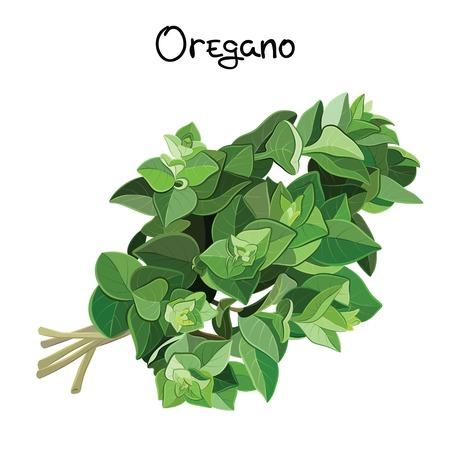 Fresh oregano sprigs. Oregano sprigs. Vector illustration Stock Illustratie