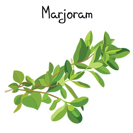 marjoram: Fresh marjoram sprigs. Marjoram sprigs. Vector illustration