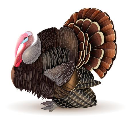 Vector illustration of thanksgiving Turkey-cock. Vector male Turkey.