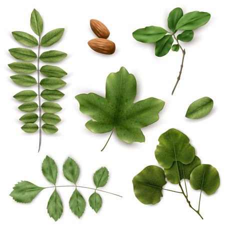 macro leaf: Realistic leaves on a white background. Set of green leaves. Vector illustration Illustration