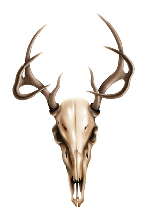 Realistic deer skull with the texture of the bone and drawn in detail horns on white background isolated vector illustration