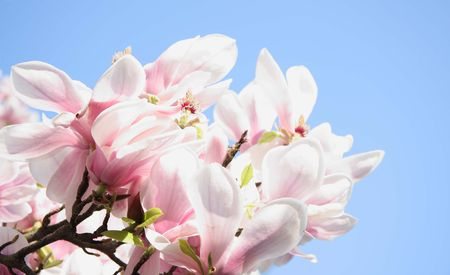 Summers Magnolia photo