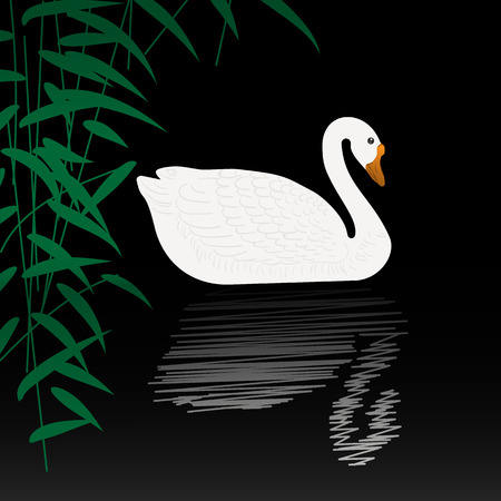 swan: Beautiful swan vector illustration. White swan swimming gracefully in the pond. White swan on black water with reflection