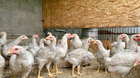 Domestically fed, well-groomed hens graze in the organic chicken farm