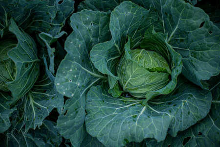 Fresh cabbages in field.Organic cabbages in early morning. 写真素材