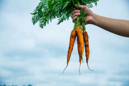 Bun of Fresh Carrots in Man's Hands.Organic Carrots in Early Morning.